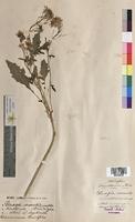 Sinapis arvensis (Brassicaceae)