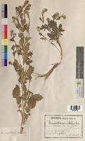 Erucastrum pollichii (Brassicaceae)