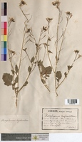 Raphanus raphanistrum (Brassicaceae)