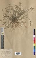 Alyssum montanum (Brassicaceae)