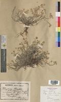 Alyssum alpestre (Brassicaceae)
