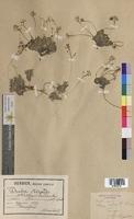 Draba aizoides (Brassicaceae)