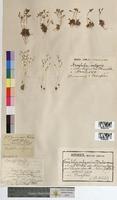 Erophila vulgaris (Brassicaceae)