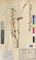 Camelina sativa (Brassicaceae)