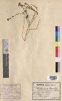 Aethionema saxatile (Brassicaceae)