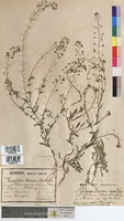 Capsella bursa-pastoris (Brassicaceae)