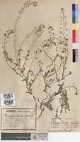 Thlaspi bursa-pastoris (Brassicaceae)