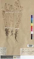 Capsella rubella (Brassicaceae)