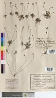 Teesdalia nudicaulis (Brassicaceae)