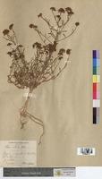 Iberis ciliata (Brassicaceae)