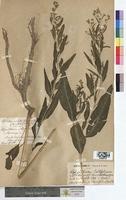http://bibliotheque-virtuelle.clermont-universite.fr/files/fichiers_bcu/Lepidium_latifolium_MTBRIS0187.jpg