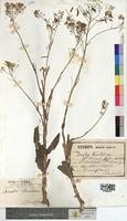 Isatis tinctoria (Brassicaceae)