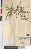 Senebiera pinnatifida (Brassicaceae)