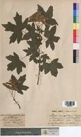 Acer campestre (Aceraceae)