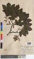 Acer pseudoplatanus (Aceraceae)