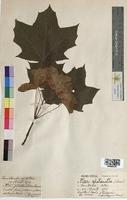 Acer platanoides (Aceraceae)