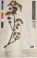 Acer opulifolium (Aceraceae)