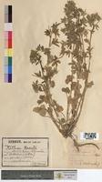 Althaea hirsuta (Malvaceae)