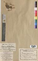 http://bibliotheque-virtuelle.clermont-universite.fr/files/fichiers_bcu/Sagina_procumbens_MTBRIS0317.jpg
