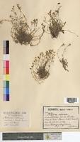 Alsine verna (Caryophyllaceae)