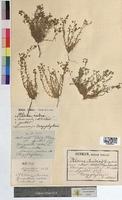 Alsine rubra (Caryophyllaceae)