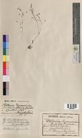 http://bibliotheque-virtuelle.clermont-universite.fr/files/fichiers_bcu/Stellaria_graminea_MTBRIS0337.jpg