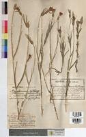 Agrostemma githago (Caryophyllaceae)