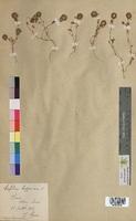 Trifolium lappaceum (Fabaceae)