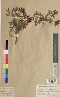 http://bibliotheque-virtuelle.clermont-universite.fr/files/fichiers_bcu/Trifolium_alpinum_MTBRIS0446.jpg