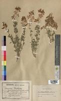Ononis fruticosa (Fabaceae)
