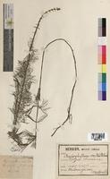 http://bibliotheque-virtuelle.clermont-universite.fr/files/fichiers_bcu/Myriophyllum_verticillatum_MTBRIS0525.jpg