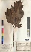 Arbutus unedo (Ericaceae)
