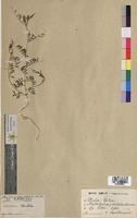 http://bibliotheque-virtuelle.clermont-universite.fr/files/fichiers_bcu/Vicia_lutea_MTBRIS0587.jpg