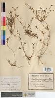 http://bibliotheque-virtuelle.clermont-universite.fr/files/fichiers_bcu/Ornithopus_perpusillus_MTBRIS0600.jpg