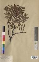 Sorbus domestica (Rosaceae)