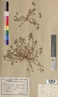 Alchemilla arvensis (Rosaceae)