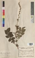 Agrimonia eupatoria (Rosaceae)