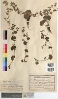 Alchemilla vulgaris (Rosaceae)