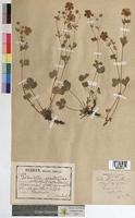 http://bibliotheque-virtuelle.clermont-universite.fr/files/fichiers_bcu/Potentilla_grandiflora_MTBRIS0703.jpg