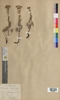 http://bibliotheque-virtuelle.clermont-universite.fr/files/fichiers_bcu/Potentilla_australis_MTBRIS0705.jpg