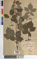 Rubus discerptus (Rosaceae)