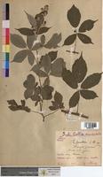 Rubus questieri (Rosaceae)