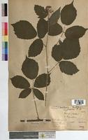 http://bibliotheque-virtuelle.clermont-universite.fr/files/fichiers_bcu/Rubus_fuscus_MTBRIS0729.jpg
