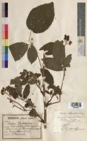 Rubus suberectus (Rosaceae)