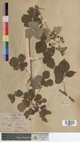 http://bibliotheque-virtuelle.clermont-universite.fr/files/fichiers_bcu/Rubus_x_amplifoliatus_MTBRIS0734.jpg