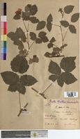 Rubus caesius (Rosaceae)