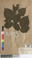 http://bibliotheque-virtuelle.clermont-universite.fr/files/fichiers_bcu/Rubus_hirtus_MTBRIS0743.jpg