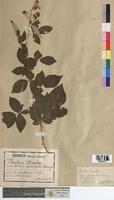 Rubus discolor (Rosaceae)