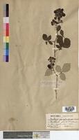 http://bibliotheque-virtuelle.clermont-universite.fr/files/fichiers_bcu/Rubus_propinquus_MTBRIS0745.jpg