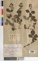 http://bibliotheque-virtuelle.clermont-universite.fr/files/fichiers_bcu/Rubus_propinquus_MTBRIS0746.jpg